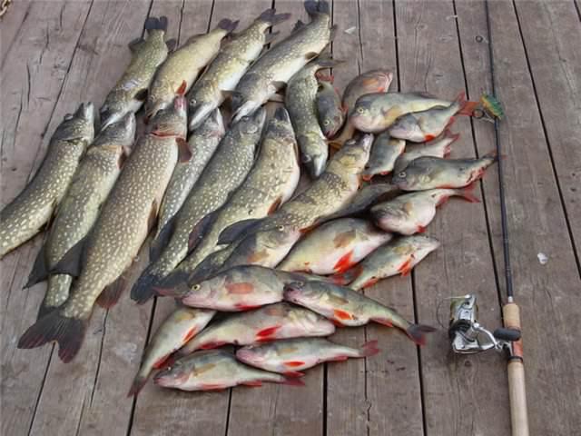 видео рибалка ловля рибу на ятира 2016