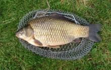 Рыбы карась