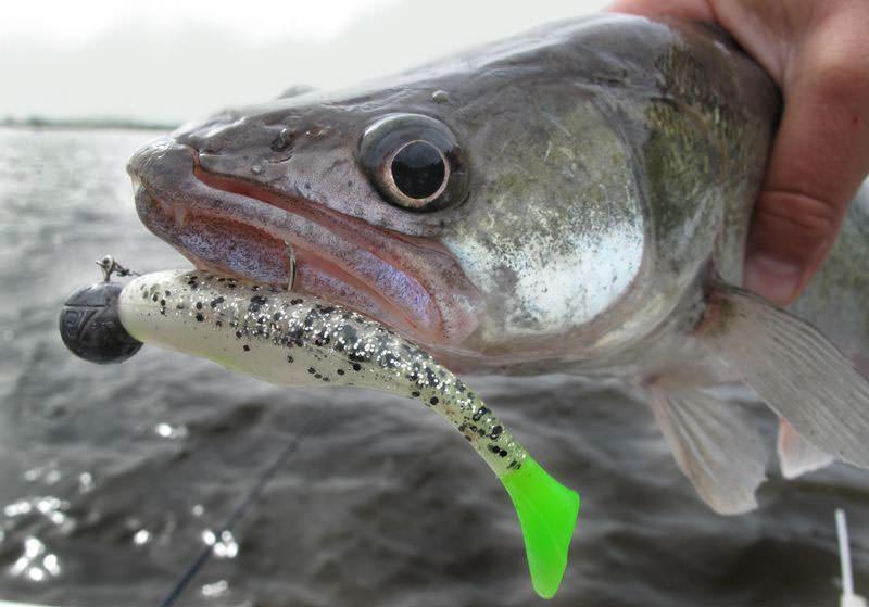Рыба  судак