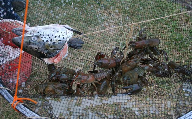 ловля рыбы раколовками видео