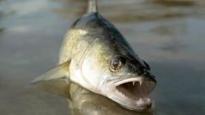 Рыбалка на Вуоксе