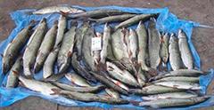 237 кг выловлены браконьерами
