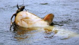 Ловля рыбы на лягушку