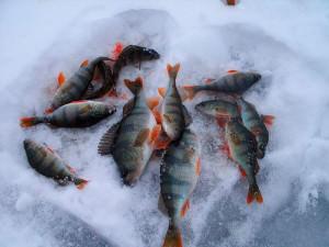 Окуни лежат на снегу