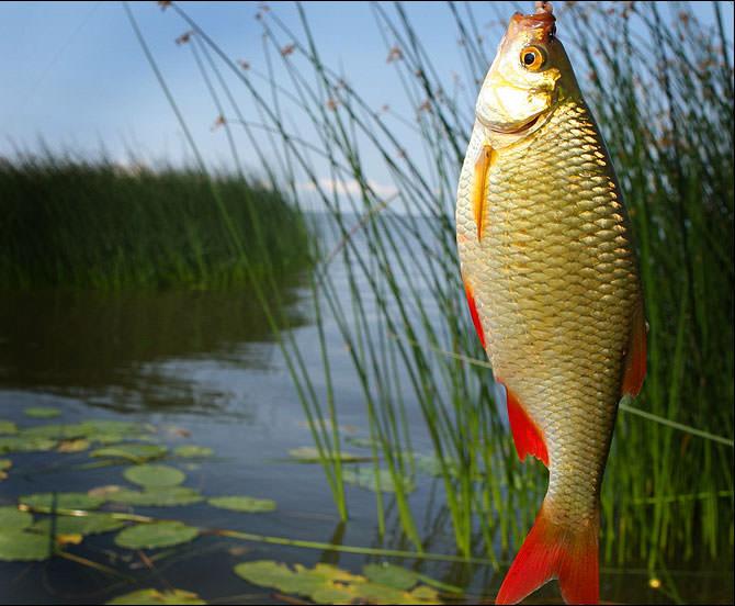 Ловля красноперки летом на поплавочную удочку